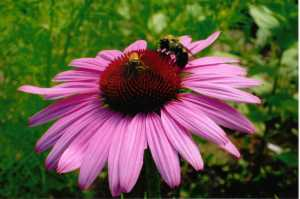 Purple Prairie Coneflower