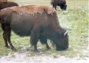 A bison at home