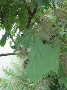 Japanese beetle foraging on  grapevine