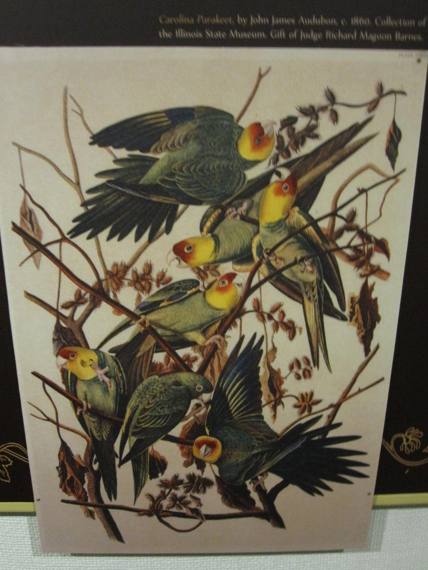 Audubon's Parakeets