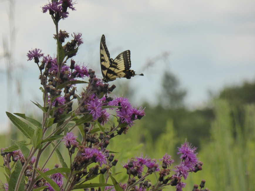 Swallowtail on Ironweed